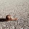 racing snail 100
